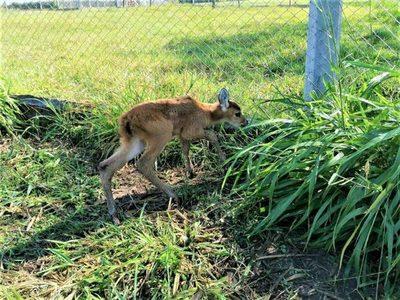 Un ciervo de los pantanos nació en cautiverio en el refugio Atinguy de Misiones