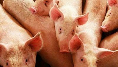 """Sector porcino pide por Taiwán: """"Existe un excedente de carne de altísima calidad que necesitamos exportar"""""""
