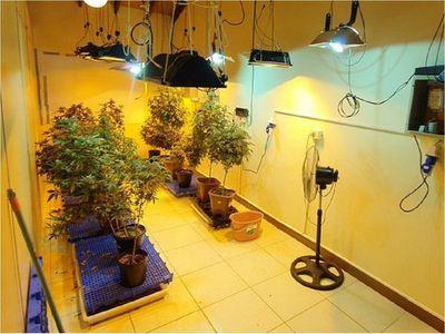 """Gran operativo para desbaratar red de producción de """"marihuana vip"""""""