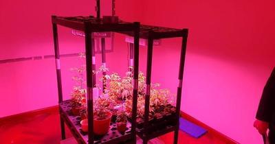 SENAD desmantela red que producía marihuana de alto costo