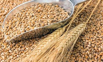 Fuerte caída de exportaciones de trigo