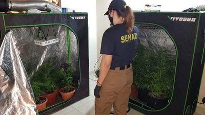 "Desbaratan laboratorios de marihuana ""Vip"""