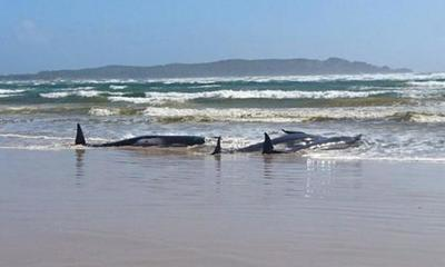 Más de 400 ballenas piloto mueren al quedar varadas en las costas de Australia – Prensa 5