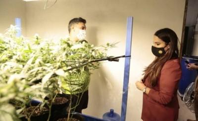 """Operativo """"Gorilla Glue"""" con 12 detenidos y """"marihuana vip"""" incautada"""