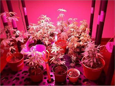 ¿Cómo eran los laboratorios de producción de marihuana vip?