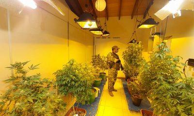 """Desmantelan laboratorios de producción de """"marihuana vip"""""""