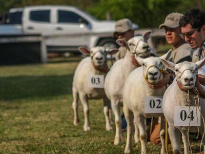 El viernes se comercializan ovinos Hampshire Down y Texel con genética de exposición