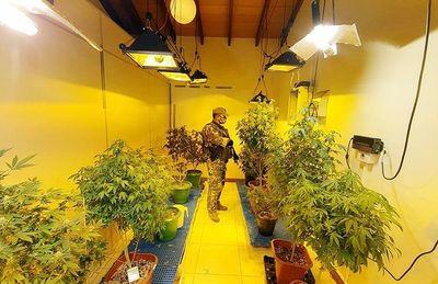 Desbaratan red que producía marihuana en invernaderos  de Asunción y Central