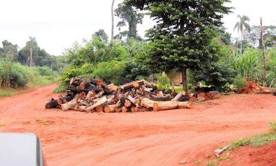 Prósperas industrias madereras se nutren impunes con árboles de valor inestimable depredados por invasores