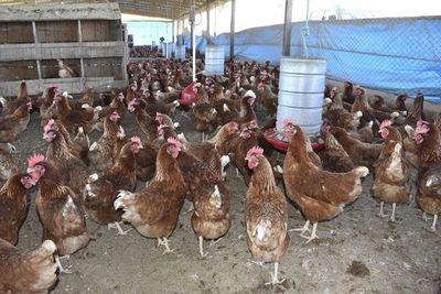 Normas para las buenas prácticas avícolas