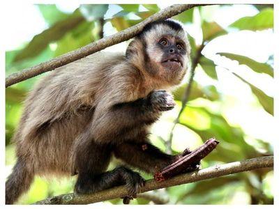 Decomisan un mono silvestre en San Lorenzo