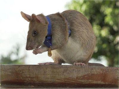 Condecoran a rata detectora de minas antipersona