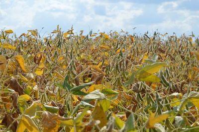 Incertidumbre por la sequía frustra oportunidades de aprovechar mejores precios de la soja