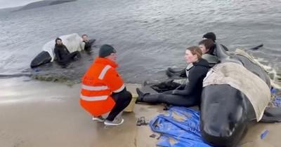 Australia lleva mar adentro cadáveres de ballenas varadas en isla de Tasmania