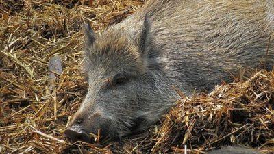 Sigue en ascenso el número de jabalíes con peste porcina africana en Alemania