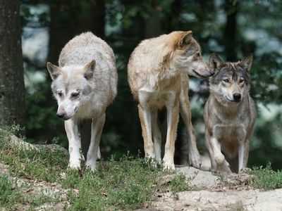 Suiza opta en referéndum por no permitir la caza de lobos