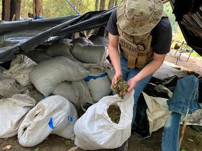 Destruyen más de 2 mil kilos de marihuana en Puentesiño