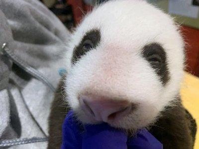 El zoo de Washington revela el sexo de su último bebé panda