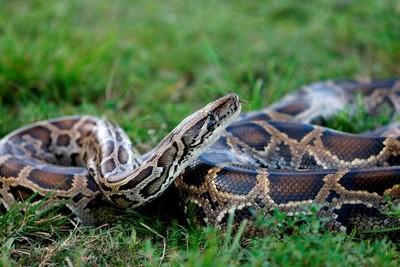 Capturan serpiente pitón de más de 6,1 metros de largo a 50 km de Miami
