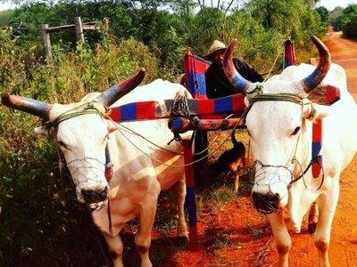 Pintó los cuernos de sus toros en ROJO Y AZUL