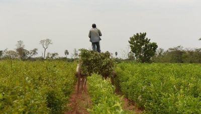 Aromatizando al mundo: Paraguay, líder en producción y exportación de petitgrain (la dulce esencia llega a los 5 continentes)