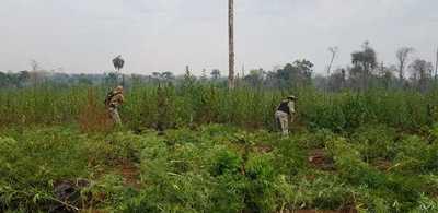 Destruyen plantaciones de marihuana en Bella Vista