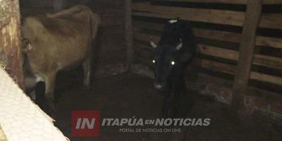 POLICÍAS ANTIABIGEATO LOGRARON RECUPERAR VACAS LECHERAS HURTADAS EN ENCARNACIÓN.