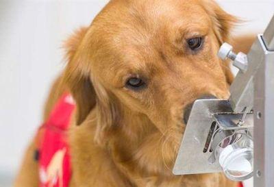 Síntomas de covid-19: los perros pueden detectarlos 5 días antes de que empiecen