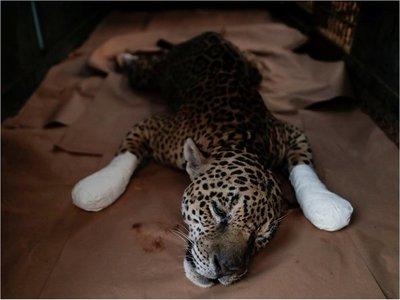 Amanaci, el jaguar que no sabe si podrá volver al Pantanal