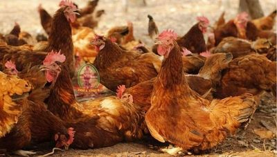 Huevos Doña Anita: Una empresa comprometida con el bienestar animal (gallinas son respetadas y criadas al aire libre)