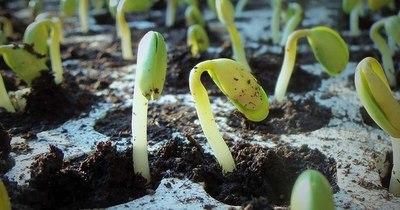 La Nación / Lluvias caídas recientemente dan luz verde a la siembra de soja