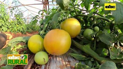 Abc Rural: Control de ralstonia en cultivo de tomate