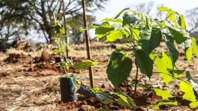 Unos 4000 arbolitos formarán parte del corredor biológico de Asunción