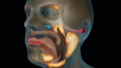 Hallan un órgano previamente desconocido dentro de la cabeza humana