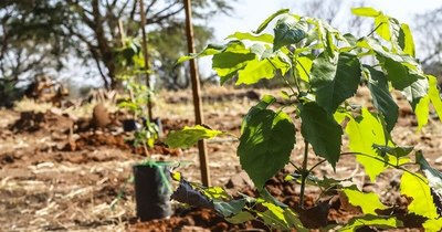 La Nación / Unos 4.000 plantines formarán el corredor verde en el predio del RC4