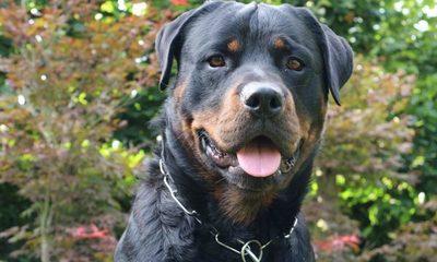Perro salva a su familia humana de asalto, asaltantes huyen a velocidad del rayo (Video)