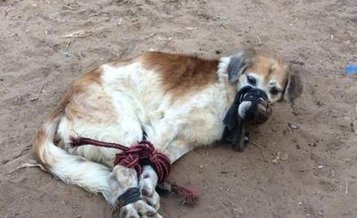 HOY / Amordazado y atado de patas arrojaron perro a un baldío