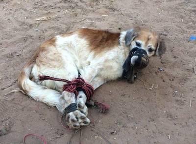 Amordazado y atado de patas arrojaron perro a un baldío