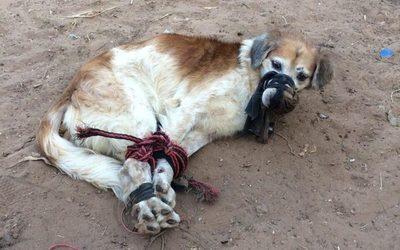 Rescatan a perro abandonado y amordazado en patio baldío
