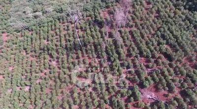 SENAD desarrolla operaciones simultáneas contra la producción de marihuana en Amambay, Canindeyú y Alto Paraná