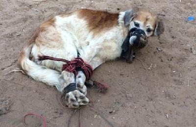 Amordazado y expuesto a una muerte lenta, abandonaron a un perro