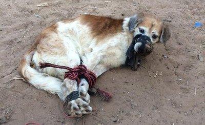 Rescatan a perro abandonado y maniatado en Fernando de la Mora