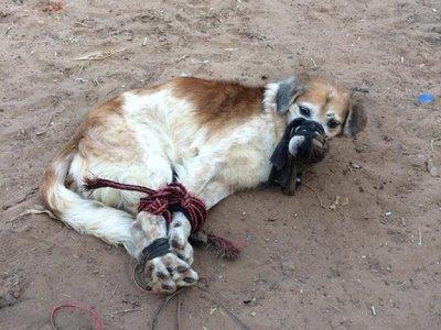 Rescatan a perro amordazado y abandonado en un patio baldío