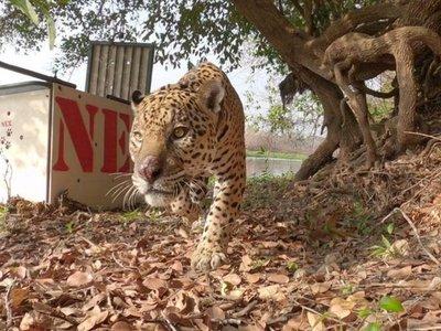 Recuperado de sus heridas por las llamas, el jaguar Ousado vuelve al Pantanal en Brasil