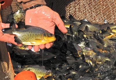 En Itaipú reproducen en cautiverio especies nativas como el dorado y surubí
