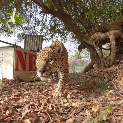 Jaguar Ousado vuelve a su hábitad, el Pantanal de Brasil, luego de su recuperación