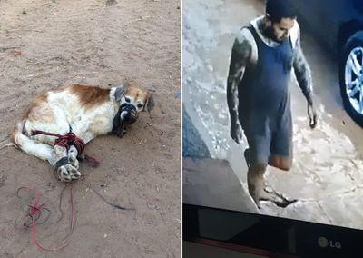 Caso Shelby: Fiscal no descarta que el animal haya sido abusado