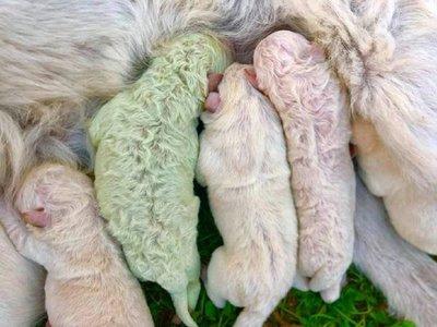 Nació un perrito de color verde en Italia