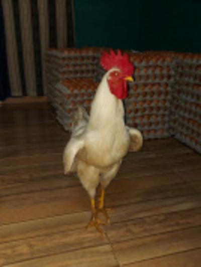 """Crónica / """"Chocho"""", un gallo que ¡pone huevos! a la sitú"""
