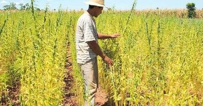 La Nación / Destacan ventajas de uso de abonos verdes para paliar efectos de la sequía